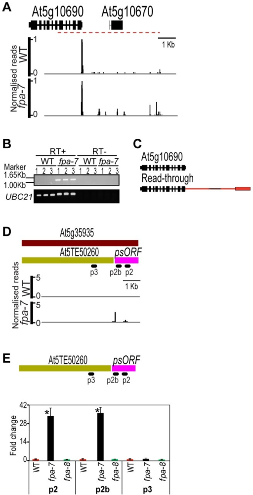 Differentially expressed transposons between wild-type and fpa-7.(A) Differential expression of the transposable element gene (At5g10670) in fpa-7. (B) Read-through contiguous RNAs were validated by RT-PCR (red dashed line). Three biological replicates (1, 2 and 3) were used for each genotype: wild-type (WT) and fpa-7. UBIQUITIN LIGASE 21 (UBC21) was used as a control. RT-PCR products were separated on agarose gels and stained with ethidium bromide. (C) Transcripts are either cleaved and polyadenylated in the annotated 3′UTR or at the intergenic sites, as determined by sequencing the cloned RT-PCR products. Red rectangles represent the 3′UTR specific to the read-through transcript and red lines represent 3′UTR introns. (D) Differential expression of the transposable element gene (At5g35935) in fpa-7. Recent re-annotation of At5g35935 [12], [13], [28], [29] defines two transcription units within it: the recently arisen pseudogene psORF and the transposon At5TE50260. DRS data reveal that silencing of psORF is lost in fpa-7. (E) RT-qPCR analysis of psORF in fpa-7 and fpa-8 mutant alleles. Silencing of psORF (p2 and p2b) is lost in fpa-7 but not in fpa-8. Data are the means ± SEM obtained for three independent PCR amplifications of three biological replicates. The y-axis shows the fold change relative to WT (WT set to 1) after normalisation to UBC21 gene expression. Location of the RT-qPCR amplicon is displayed on the left panel. *, P<0.05; Student's t-test. Normalised reads mapping to the different loci are presented for WT and fpa. Genes are orientated 5′–3′; exons are denoted by rectangles, UTRs by adjoining narrower rectangles and introns by lines. Images of normalised read alignments were made using the Integrated Genome Browser [55] and correspond to combined reads from the three sequenced biological replicates for each genotype.