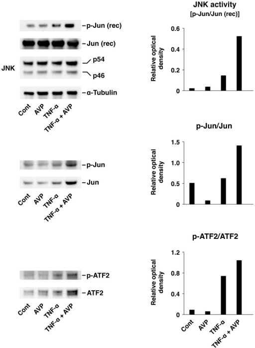 The synergistic interactions between TNF-α and AVP in the choroid plexus epithelium as assessed by the level of activation of JNK and its target transcription factors c-Jun and ATF2.The activation of the JNK signaling cascade in the Z310 cell line was assessed after 1-h incubation with either TNF-α (5 ng/ml) or a combination of TNF-α (5 ng/ml) and AVP (1 nM). In non-radioactive JNK activity assays, 200 ng of recombinant (rec) human c-Jun protein was used as a substrate for JNK. The extent of activation of c-Jun and ATF2 was assessed by Western blotting (30 µg of total protein per lane was loaded). The representative immunoblots are shown based on three independent experiments. The ratios of optical density of bands for phosphorylated proteins over the optical density of bands for the total (phosphorylated and non-phosphorylated) proteins are shown.