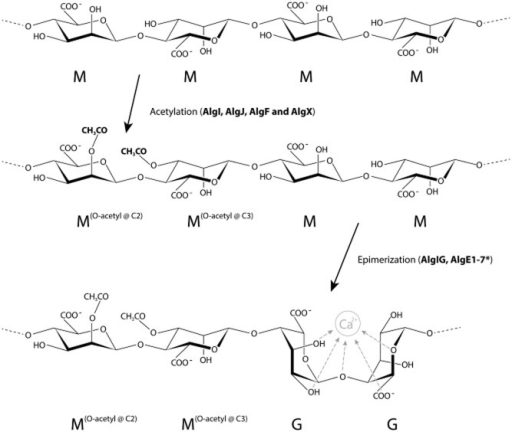Modification of bacterial alginate. Showing the acetylation of the first two M residues at C2 and C3 respectively; and the C5 epimerization of the third and forth M residues to G residues. The Ca2+ binding associated with G-blocks is shown. *AlgE1-7 are extracellular epimerases unique to Azotobacter.