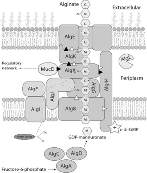 Schematic representation of the alginate polymerization/secretion complex spanning from the inner membrane to the outer membrane. Acetylation by AlgI, AlgJ, AlgF and AlgX and epimerization by AlgG are demonstrated by dashed lines. It remains unclear whether AlgJ or AlgX or both are responsible for the direct acetylation of the alginate chain. Deduced interactions are shown as triangles, with white triangles indicating a mutual stability relationship and black triangles representing a direct interaction as indicated by pull down data.