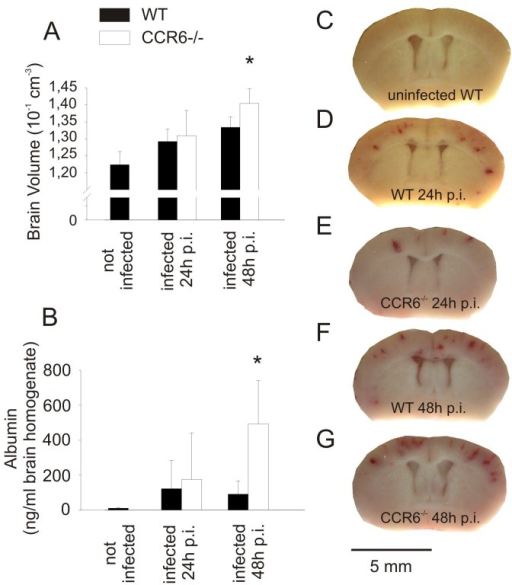 CCR6-deficient mice suffer from increased brain edema after antibiotic therapy.(A) Infected mice with CCR6-deficiency developed more pronounced brain edema than infected wild type mice 48 h after infection, reflected in an increase in the estimated brain volume. (B) At the same time point, an increase of brain albumin content was noted in infected Ccr6−/− mice, indicating blood-brain barrier disruption. These differences were only seen after but not before initiation of antibiotic therapy (24 h after infection). (C–G) Intracranial bleeding was similar in infected Ccr6−/− and wild type mice. (*) p<0.05 compared with WT control animals. Number of animals: 24 h: Ccr6−/− n = 12, WT n = 12; 48 h: Ccr6−/− n = 12, WT n = 13.