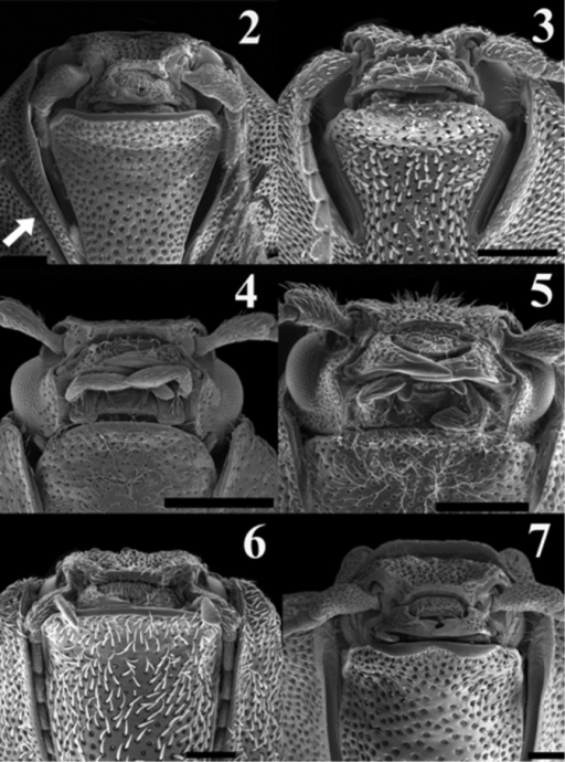 Scaning electron micrograph of frontal head of: Acrocryptus ater (2)Agrypnus sp. (Australia) (3) Candanius sp. (4) Carlota coigue (5)Dilobitarsus laconoides (6)Lacon chilensis (7). Scale bar = 1 mm.