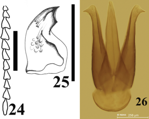 Antennomeres, mandible and male genitalia of Carlota coigue. Antennomeres (24) mandible (25) male genitalia (26). Scale bar = 0.5 mm.