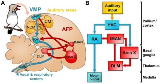 Neural substrates for singing and song learning.A and B: schematics of the song control system and relevant auditory structures. Represented are the posterior vocal-motor pathway (VMP, blue), and the anterior forebrain pathway (AFP, red). HVC is the origin of both pathways and the entry site of inputs from auditory areas (yellow) into the song system. For abbreviations, see table 1. In A, brain topography is preserved, for easier comparison with experimental brain sections. In B, indication of broad brain subdivisions (on the right) facilitates comparison with mammalian brains.