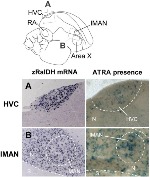 ATRA-induced reporter expression in song nuclei HVC and RA of adult male zebra finch is consistent with zRalDH expression.The drawing illustrates regions shown in A (HVC) and B (lMAN), abbreviations in table 1. Left panels show ISH for zRalDH, right panels show detection of ATRA (blue label) in brain sections by reporter assay. HVC but not the surrounds, and lMAN and its surrounds both strongly express zRalDH and induce reporter expression. In all panels, frontal is to the right and dorsal is up.