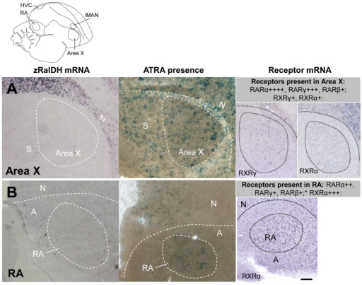 Induction of ATRA reporter expression by song nuclei that do not express zRalDH in adult male zebra finch.Line drawing on top indicates position of song nuclei. Left panels: detail views of zRalDH expression by ISH. Middle panels: Sites of ATRA presence by reporter cell assay. Right panels: summary and examples of transcript distribution for retinoid receptors. Data for RAR expression are from Jeong et al., 2005. Brain diagram on top indicates position of song control nuclei. In all panels, frontal is to the right and dorsal is up. A: Area X; B: RA. In both nuclei, zRalDH is not expressed, but ATRA-induced reporter expression is detected, as well as receptors that may mediate ATRA effects.