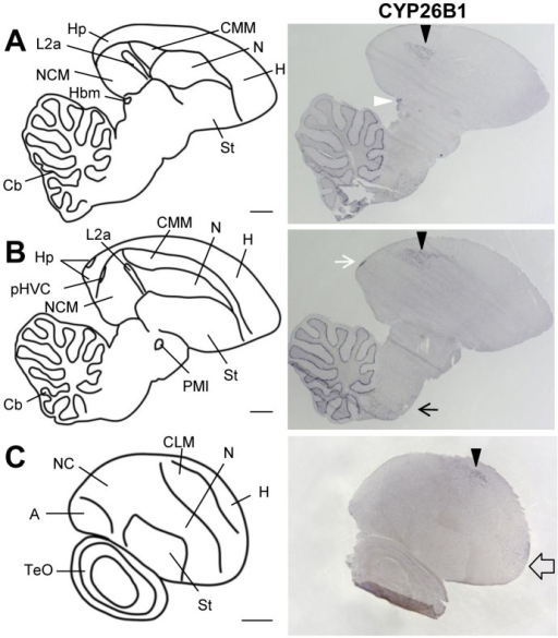 CYP26B1 expression in adult zebra finch brain.The drawings on the left depict brain areas of the parasagittal sections on the right. The right panels show sections processed for ISH for CYP26B1. For all images, anterior is to the right and dorsal is up. A and B are medial sections, C a lateral one. CYP26B1 expression is sparse, mostly in CMM and CLM (black arrowheads), and does not overlap with zRalDH (see fig. 14, 15, and fig. 7). CYP26B1 is also expressed in the fronto-lateral mesopallium (empty arrow), in the medial habenula (white arrowhead), in the caudal-dorsal hippocampus (white arrow), and in cerebellar Purkinje cells. For abbreviations, see table 1. Scale bars  = 1 mm.
