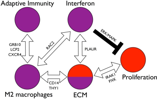 Model of interactions among the components of the network.The molecular network of Fig. 4 is densely interconnected, implicating many possible interactions between the core molecular processes (interferon activation, M2 macrophage activation, adaptive immunity, ECM remodeling, and cell proliferation). Stepping back from the granular detail of single genes, we see a system of distinct parts through which SSc could be initiated and maintained. Among these are paths of particular interest. The interferon subnetwork and the M2 macrophage subnetwork are connected by RAC2. The M2 macrophage subnetwork in turn is connected to the ECM subnetwork through paths through CD14 and THY1. Suggesting macrophages may influence or drive ECM abnormalities in skin. The interferon subnetwork and the ECM subnetwork are connected through paths containing the pleiotropic and polymorphic gene PLAUR. The M2 macrophage subnetwork is connected to the adaptive immunity subnetwork through several distinct sets of paths through the genes GRB10, LCP2, and CXCR4. The ECM subnetwork is connected to the cell proliferation cluster through TGFβ pathway genes and paths containing the polymorphic genes IRAK1 and PXK, which suggests that ECM remodeling modulates cell proliferation through the TGFβ pathway. The interferon node may negatively regulate proliferation via the ERK/MAPK pathway resulting in the general mutual exclusivity of the inflammatory and fibroproliferative subsets. Thus we see a set of interconnected, balancing feedback loops that can enforce subset homeostasis, but also allow for patients to transition between the subsets, possibly in response to therapy.