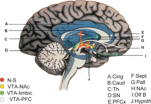 The human nigrostriatal (A9) and mesocorticolimbic (A10 | Open-i