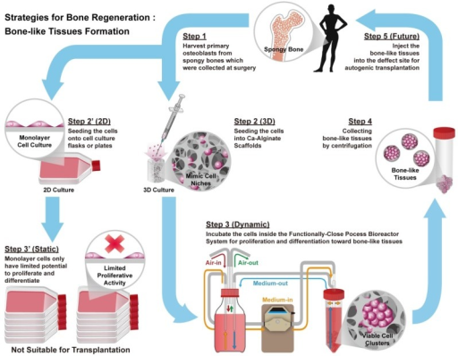 Schematic illustrations of the general concept and strategy for this study. Briefly, step 1 is to harvest human osteoblasts from cancellous bones which were collected at surgery (Step 1). Next step is to culture cells at 2D environment with static condition, which might limit proliferative activity and loose phenotype (Step 2' to Step 3'). Instead, employ Ca-Alginate scaffolds as cell culture matrices and incubate these cells at the functionally-closed process bioreactor system with dynamic fluid (Step 2 to Step 3). At the end of incubation, extract these bone-like tissues without any enzymatic treatment (Step 4). In the future, the bone-like tissues could apply to autogenic transplantation and provide customized patient safety (Step 5).