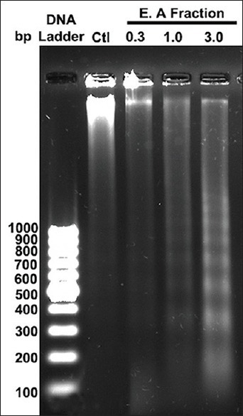 DNA fragmentation assay performed with different concentration of ethyl acetate fraction exposed HeLa cells and Isolated DNA samples were analyzed using (2%) agarose gel electrophoresis