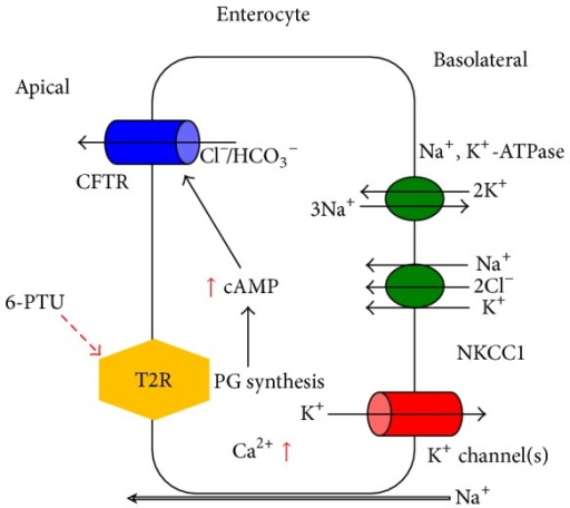 Schematic diagram of Cl− secretion stimulated by a bitter tastant (6-PTU) in colonic epithelial cells. Activation of apical T2R by luminal bitter tastant results in the synthesis of prostaglandin. This prostaglandin then induces an increase in intracellular cAMP concentration ([cAMP]i). Elevated [cAMP]i activates the CFTR Cl− channels to mediate Cl−/HCO3− secretion. Activation of T2R simultaneously causes an increase in [Ca2+]i. The elevated [Ca2+]i modulates the Ca2+-activated basolateral K+ channels, providing a driving force for the exit of Cl−/HCO3−.