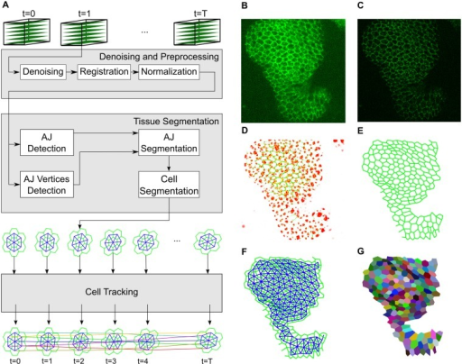 The developed system for the preprocessing, segmentation and tracking of epithelial cells.A) Schematic of the computational pipeline from the acquisition of 3D time lapse data to image preprocessing, cell segmentation and tracking. After segmenting the cells, we define symbolically their structure using a planar graph connecting detected AJ vertices with edges (green). Then we identify the cells in the tissue as the faces of the AJ graph and build the Cell graph to describe cell connectivity (blue). Finally, we establish correspondence between cells among frames (colored lines connecting cell centroids) obtaining cell trajectories. (B-G) Part of an epithelium of a Drosophila leg at early pupal stages. This tissue dramatically narrows and elongates at this stage to generate a narrow and hollow cylinder while the epithelium at presumptive joints invaginates. B) Maximum intensity projection of an image stack through the leg epithelium marked with E-cad∷GFP to highlight cell outlines. Distal up, narrow region—presumptive joint; wider regions part of the presumptive segment. C) Projection of the denoised and deconvoluted volume. D) The output of the filters employed to detect AJs (green) and AJ vertices (red). E) AJ graph representing the AJs structure. F) Cell graph representing neighborhood relationships among cells in the tissue. G) Polygonal representation of the cells, colored according to assigned temporal identifiers.