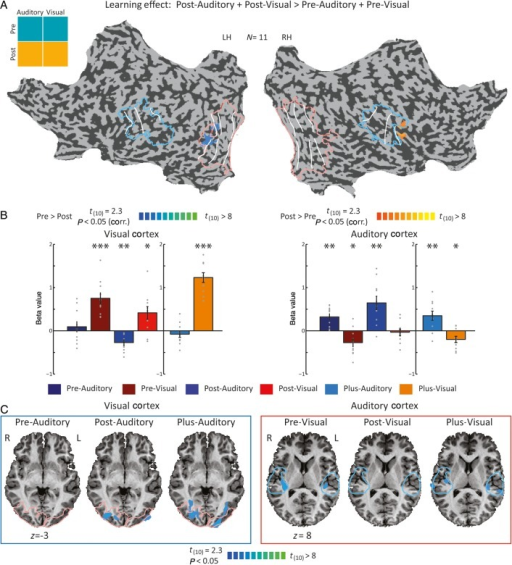 "Dynamic crossmodal attenuations of sensory areas. (A) Statistical parametric map of the learning effect revealed by a two-way ANOVA, post-learning versus pre-learning preference (P < 0.05, corr.), is presented on a flattened cortical reconstruction of one of the subjects. The analysis was carried out within areas that were responsive to either vision or auditory inputs, before or after learning SSA. The statistical parametric map revealed a preference for the pre-learning condition within the right visual cortex, and a preference for the post-learning condition within the left auditory cortex. Retinotopic and tonotopic borders are presented as well; blue lines delineate tonotopic areas and red lines delineate retinotopic areas. (B) Beta values sampled from the clusters depicted in (A) reveal that the learning effect stemmed from changes in crossmodal attenuations (grey dots represent single subjects' beta values; means and SD are presented). In primary visual areas (on the left), visual responses were significantly positive throughout the experiments (*P < 0.05, **P < 0.005, ***P < 0.0005, corr.). However, auditory responses were significantly negative during the Post-passive experiment, underlying the learning effect in this area. In the primary auditory cluster, auditory stimuli elicited significant positive responses throughout the experiments, but visual responses were negative in the ""Pre"" and ""Plus"" experiments. (C) Auditory responses in the visual cortex (blue box, left) and visual responses in the auditory cortex (red box, right) in all 3 experimental conditions (Pre, Post, and Plus, in left to right panels), compared with baseline. In all cases, only negative responses were detected, if any (P < 0.05, uncorrected). Here, as well tonotopic borders are in blue and retinotopic borders are depicted in red. In the visual cortex, auditory responses were not presented before learning SSA, but appeared both after learning and in the audiovisual integration task. This experimental context-dependent crossmodal effect underlies the preference of the visual cortex for the pre-learning condition. In the auditory cortex, a mirror pattern appeared with visual attenuation before learning and not afterwards. This release of attenuation explains the preference in the auditory cortex for the post-learning. In the Plus experiment, both crossmodal effects were apparent."
