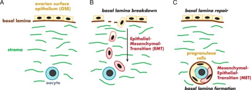 Illustration of the conceptual processes needed to derive granulosa cells from the ovarian surface epithelium. There has been no discussion of these processes in the literature or any evidence to identify that they occur. Surface epithelial cells with a basal lamina and stromal interface (A) would first need to undergo an epithelial-mesenchymal transition (B) to break through the surface epithelial basal lamina and to become migratory and migrate to the oogonium (B). They would then need to undergo a mesenchymal-epithelial transition to form epithelial granulosa cells of follicles all enclosed by the follicular basal lamina (C).