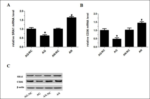 Effects of miR-590 on SRA1 and CD36 expression in apoE−/− mice.(A) SRA1 mRNA levels in peritoneal macrophages of apoE−/− mice as measured by RT-qPCR. (B) CD36 mRNA levels in peritoneal macrophages of apoE−/− mice as measured by RT-qPCR. (C) SRA1 and CD36 protein levels in peritoneal macrophages of apoE−/− mice as measured by western blotting. Values are mean ± SD.*: P<0.05 vs AG-NC. #: P<0.05 vs AN-NC.