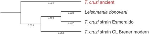 Phylogenetic reconstruction of large ribosomal subunit alpha from ancient T. cruzi and extant T. cruzi strains CL Brenner and Esmeraldo, and Leishmania donovani.Analyses were performed using maximum likelihood phylogeny using Neighbor Joining, and Jukes Cantor distance with bootstrap resampling (100 replicates). Branch lengths are shown.