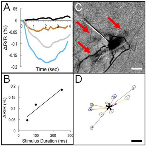 Optical imaging of focal electrical stimulation in squirrel monkey somatosensory cortex. (A) Stimulation at 0 s (black), 50 ms (orange), 100 ms (gray), and 250 ms (blue) at 150 μA. Y axis: reflectance change dR/R. (B) Optical reflectance change increases with stimulus duration (measured at site of stimulation). (C) Optical image of local functional connectivity (from Brock et al., 2013) appears similar to (D) patches of anatomical label following focal (250 μm sized) injection (asterisk) of BDA tracer (adapted from Negyessy et al., 2013). (C,D) are from different animals. Scale bar for (C,D): 1 mm.