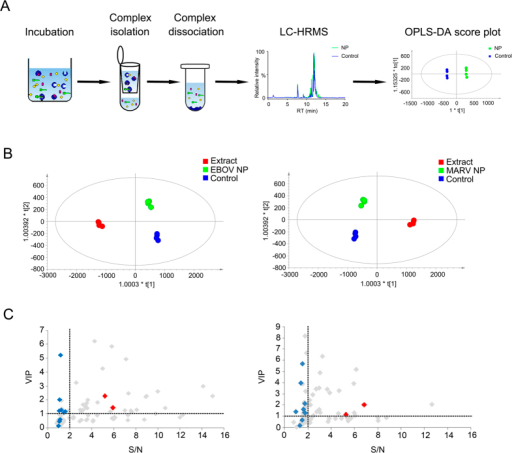 Identification of chemical ligands bound to Ebola virus and Marburg virus NPs from Chinese licorice.(A) The workflow of combining affinity MS and metabolomics approaches for ligand discovery towards NPs. (B) OPLS-DA score plots of the crude extracts, the NP incubation samples and the control samples show clear separation of three groups in the data sets of EBOV NP (left) and MARV NP (right). (C) VIP and S/N plots of features detected in the protein incubation sample and control from the EBOV NP experiment (left) and MARV NP experiment (right). Each grey symbol represents a feature detected in four independent replicates (RSD of S/N ratios across replicates < 30%). Each feature also matches its accurate mass with the Chinese licorice compound database. Red symbols annotate two putative ligands bound to NPs (GC7 and GC13). Blue symbols annotate the rest of 11 constituents in Chinese licorice that do not bind NPs. All color-coded compounds are identified by HRMS and MSMS analysis according to reference standards.