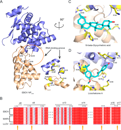 Potential interaction of new ligands with the RNA-binding groove of Ebola virus NP.(A) The crystal structure of EBOV NPcore containing the N-lobe (in blue) and C-lobe (in brown). The RNA-binding pocket surrounded by several residues is marked by a circle and enlarged in the side stereoview. (B) Primary sequence alignment of members of the filoviridae family. Residues in the RNA-binding groove are indicated by yellow arrows. Docking model of GC7 (C) and GC13 (D) interacting with the RNA-binding groove of EBOV NP.