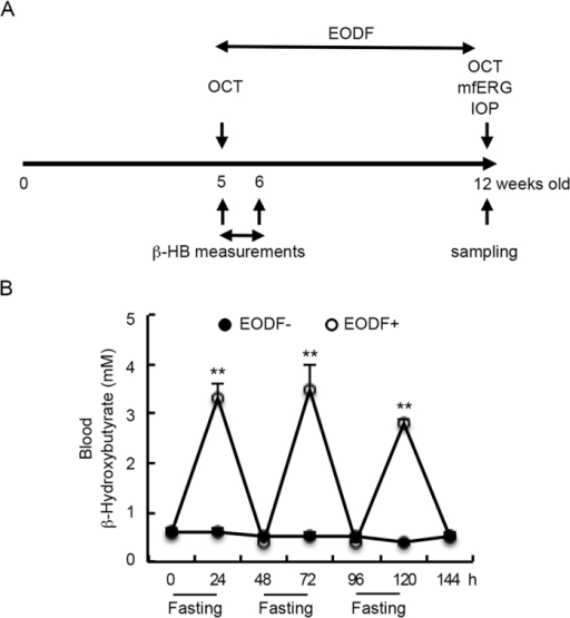 Experimental timeline and effects of EODF on blood β-HB levels in EAAC1−/− mice.(A) Experimental protocols. EODF was started in EAAC1−/− mice from 5 W and continued for 7 weeks. OCT, mfERG and IOP of mice were measured before sampling at 12 W. β-HB levels in the blood of mice were measured every 24 h in the first week of the experiment. The control group (EODF−) had continual access to food, while the EODF group (EODF+) had access to food on alternate days. Both groups were given ad libitum access to water. (B) Increased β-HB levels in the blood of EODF mice on fasting days. The data are presented as means ± SEM of six samples for each experiment. **P < 0.001.