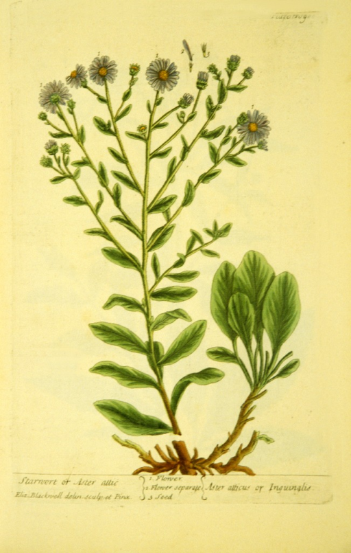 <p>Illustration of the flowers and seeds of starwort.</p>