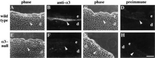 α3β1 integrin is absent from the skin of α3- mice. Frozen skin sections were prepared from the limbs of wild-type (A–D) or  α3- (E–H) mice and stained by immunofluorescence with an antiserum against the cytoplasmic domain of α3 (B and F), or with the  preimmune serum (D and H). The corresponding phase contrast (A, C, E, and G) is shown to the left of each immunofluorescence  panel. e, epidermis; d, dermis. Arrowheads point to basal keratinocytes of the epidermis. Bar, 50 μm.
