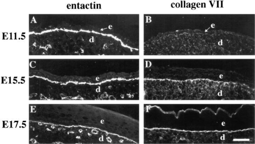 Distributions of entactin  and type VII collagen in the developing skin. Frozen sections from  mouse embryonic skin at days E11.5  (A and B), E15.5 (C and D), or  E17.5 (E and F) of development  were stained with antisera against  entactin (A, C, and E) or type VII  collagen (B, D, and F). Staining patterns for entactin or type VII collagen were identical in wild-type (A,  C, and D) and heterozygous (E and  F) embryos; type VII collagen staining in B is from an α3-, E11.5  embryo, but was identical to that of  a wild-type embryo at this stage. e,  epidermis; d, dermis. Bar, 50 μm.