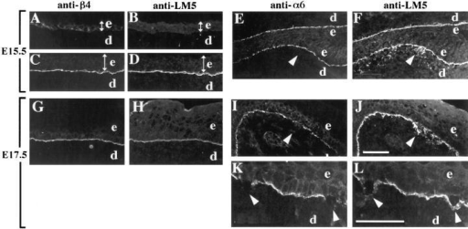 Distributions of α6β4 and laminin-5 in the developing skin of normal and α3- embryos. Frozen sections from mouse embryonic skin at days E15.5 (A–F) or E17.5 (G–L) of development were stained by double-label immunofluorescence with either monoclonal antibody 346-11A against the β4 integrin subunit (A, C, and G) or GoH3 monoclonal antibody against the α6 integrin subunit (E,  I, and K), and anti–laminin-5 serum (B, D, H, and F, J, L, respectively). Control sections were from wild-type embryos (A–D) or heterozygous embryos (G and H). In wild-type E15.5 embryos, α6β4 and laminin-5 codistributed to the basement membrane zone in more  stratified regions (C and D), but not in less stratified regions (A and B); the width of the epidermis in each panel is indicated by a double-headed arrow. In α3- embryos at E15.5 (E and F) and E17.5 (I and J), arrowheads point to areas of laminin-5 staining in areas of  disorganized basement membrane, below the α6-positive basal keratinocytes; the skin in E and F is folded back on itself. (K and L)  Higher magnification of α3- skin at E17.5 showing α6-negative, basal keratinocytes that have separated from the laminin-5 positive  basement membrane, marked by arrowheads. e, epidermis; d, dermis. Bars: (shown in J for A–J) 50 μm; and (in L for K and L) 50 μm.