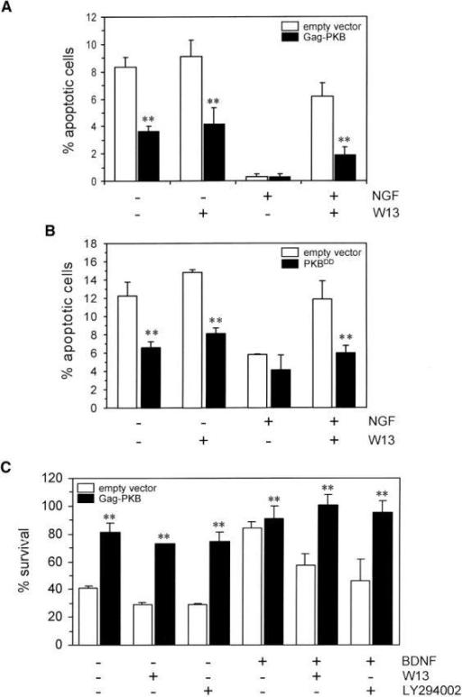 Constitutively active forms of PKB prevent the cell death induced by CaM antagonists in NT-maintained cultures. PC12 cells (A and B) or MTNs (C) were transiently cotransfected with pEGFP and pCMV5-HA-PKBT308D/S473D (PKBDD) or pSG5-Gag-PKB or the empty vector. (A and B) PC12 cells were serum starved and treated with NGF (10 ng/ml), W13 (30 μM), or left untreated as indicated. After 15 h, cells were fixed and stained with Hoechst 33258. The percentage of apoptotic cells scored into the EGFP-positive cell population was evaluated and represented as the mean ± SEM of three independent experiments. (C) MTNs were treated with BDNF (10 ng/ml), W13 (30 μM), LY294002 (20 μM), or left untreated as indicated. After 24 h, EGFP-positive cells were counted, and survival was expressed as the percentage remaining of EGFP-positive cells in each treatment. The graph shows the mean ± SEM of three independent experiments. **P value using the Student's t test was <0.01 when comparing the cultures transfected with pCMV5-HA-PKBT308D/S473D or pSG5-Gag-PKB with those transfected with the empty vector in each treatment (A–C).