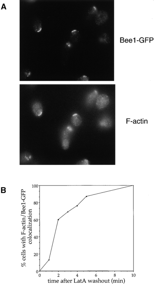 Polarized Bee1-GFP defines the site of actin polymerization in vivo. (A) A population enriched in polarized unbudded cells was generated by releasing G1-arrested cells into the cell cycle in the presence of Lat-A. 1 h after release, Lat-A was washed away, and cells were fixed at various time points. The cells were stained for Bee1-GFP (anti-GFP antibody) and F-actin (rhodamine phalloidin). Shown are cells from the 5 min time point. (B) Quantitation of results from the experiment described in A. At various time points after Lat-A washout, the percentage of cells with F-actin colocalizing with polarized Bee1-GFP was determined. Only cells with polarized Bee1-GFP were counted.