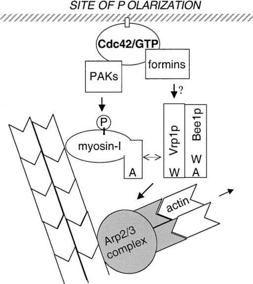 A model depicting a bifurcated pathway downstream of Cdc42p required for polarized actin polymerization. In a formin protein-dependent manner, Cdc42p recruits a Bee1p/Vrp1p/myosin-I–containing complex to the polarization site to activate the Arp2/3 complex. The double headed arrow between myosin-I and Vrp1p/Bee1p represents a dynamic interaction. In parallel, Cdc42 recruits the PAKs, which phosphorylate and activate the motor activity of type I myosins.