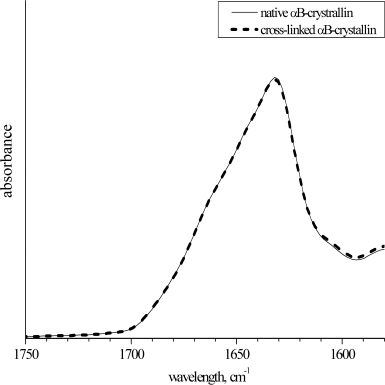 The Amide I band of the infra-red spectra of the native and cross-linked αB-crystallin. The spectra were normalized to the integral intensity of the Amide I band