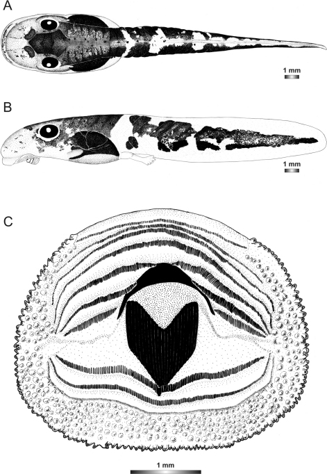 Drawings of the preserved DNA voucher tadpole of Boophis luciae (ZCMV 5146-ZSM 730/2007): A Dorsal view B Lateral view C Oral disc.