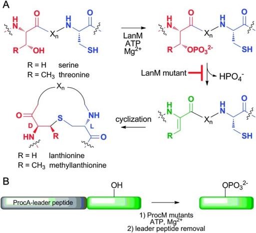 (A) LanM-catalysed introduction of lanthionines and methyllanthionines into the core peptide of their LanA substrates via a cryptic phosphorylation step. Several mutations in these enzymes generate proteins that still phosphorylate but no longer eliminate. (B) General presentation of the strategy used herein. A peptide of interest was expressed fused to the C-terminus of ProcA leader peptides, phosphorylated with a ProcM mutant, and the leader peptide was removed by proteolysis.