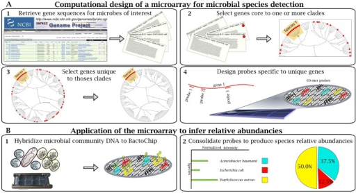 Design of the BactoChip and its application for microbial species identification and quantification.(A) Schematic overview of computational design and its output. (A1) Complete genomes from 186 bacterial species were retrieved from the National Centre for Biotechnology Information microbial database. (A2) Gene sequences core to each target species were defined on the basis of sequence conservation within each clade. Red dots represent the distribution of core genes shared by strains within and outside a target clade. (A3) Core genes unique to each target species were selected by sequence alignment against all available archaeal and bacterial sequences. (A4) Oligonucleotide probes were designed for up to 10 identified unique genes for each target bacterial species. Each probe color represents specificity to a defined bacterial species. (B) Experimental design and example data. (B1) DNA from microbial communities was tested on the BactoChip. Green dots represent Cy3 bound to genomic DNA fragments from a sample hybridized to the chip. (B2) Species relative abundances are finally inferred by normalization of the fluorescence signal for each probe and species.
