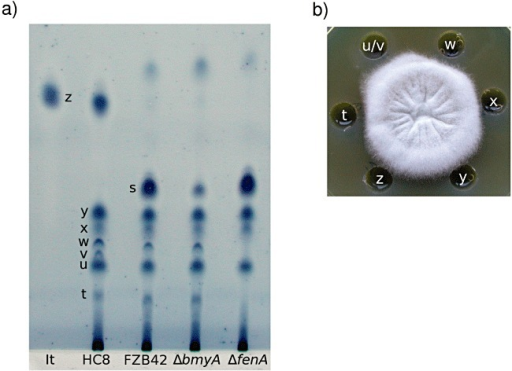 Evaluation of antifungal metabolites produced by B. subtilis HC8 and B. amyloliquefaciens FZB42. A. TLC analysis of methanol extract of the supernatant fluids of Bacillus strains. The plate was developed in chloroform/methanol/water 65:25:4 (v/v/v) for 2.5 h. For visualization, the developed plate was stained in iodine followed by dipping in 1% aqueous starch. Pure iturin A (It) was used as a reference. HC8, endophytic strain B. subtilis HC8; FZB42, Bacillus amyloliquefaciens FZB42; ΔbmyA, mutant of FZB42 unable to produce bacillomycin D; ΔfenA, mutant of FZB42 unable to produce fengycin; t‐z, major spots of the HC8 crude extract; z, likely correspond to iturin; s, fraction likely to contain bacillomycin D; w and t likely to contain fengycin. B. Antifungal activity of individual fractions of crude extract from B. subtilis HC8 towards Forl in vitro. t‐z, major fractions corresponding to spots in A).