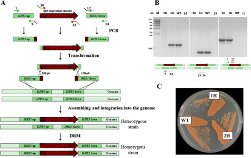 "Assembly and integration of the hygromycin B resistance cassette into the genome of X. dendrorhous by DNA assembler. A) Three DNA fragments, DHS3 ""up"", hph expression cassette (composed by EF-1α promoter, hph gene and gpd terminator) and DHS3 ""down"" were amplified by PCR to direct the integration of the hygromycin B cassette into the DHS3 locus of the X. dendrorhous genome. Then, they were co-transformed, assembled (by recombination at their overlapping ends) and integrated into the X. dendrorhous genome. The arrows represent the primers used and the black crosses represent the in vivo homologous recombination event. By this way, the heterozygous strain was obtained, which was submitted to the double recombinant method (DRM) to obtain the homozygous strain. B) Evaluation of the hygromycin B cassette integration by PCR of strains Xd_1H (1H, one hygromycin B cassette copy), Xd_2H (2H, two hygromycin B cassette copies) and parental UCD 67–385 (WT), and control without DNA (-). A scheme representing the primer sets (in arrows and numbers according to Additional file 1: Table S1) that were used and the DNA target are included under each gel photograph. M: Molecular marker, lambda DNA digested with HindIII. C) Color phenotype of strains Xd_1H (1H), Xd_2H (2H) and parental UCD 67–385 (WT) grown on an MMV agar plate."