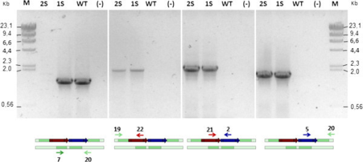PCR-based analysis of the crtS expression cassette and hygromycin B resistance cassette integration into the genome of X. dendrorhous. PCR analyses of Xd_1H1S (1S, one additional crtS gene copy), Xd_2H2S (2S, two additional crtS gene copies), and parental UCD 67–385 (WT) strains, and the negative control without DNA (-). A scheme representing the primers sets that were used (in arrows and numbers according to Additional file 1: Table S1) and the DNA target are under each gel photograph. The scheme shading is in accordance with Figure 3. M: Molecular marker, lambda DNA digested with HindIII.