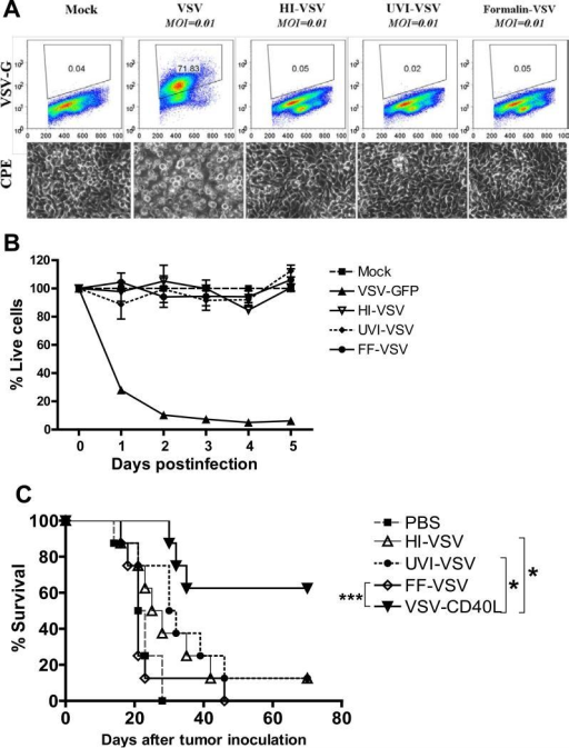 The effects of physical and chemical inactivation of replication-competent VSV on the efficacy of VSV virotherapyA. Overnight cultures of 2×106 B16ova cells were infected with VSVs (MOI=0.01) for 24 hours. Top panels show dot plots of B16ova cells depicting surface expression of VSV-G. Representative photographs showing cytopathic effects (CPE) (bottom panels) after 24 hours. HI: Heat-inactivated VSV; UVI: ultraviolet-inactivated VSV; FF: Formalin-fixed VSV. B. Using 96-well plates, 5×103 B16ova melanoma cells were infected with either live or inactivated VSVs at an MOI of 1.0. The number of viable cells was measured using MTT assay at the indicated time points postinfection. Values are averages of triplicate samples (± SEM) and representative of 2 independent experiments. C. Kaplan-Meier survival plot of subcutaneous B16ova tumor-bearing C57Bl/6 mice treated with six intratumoral injections of either live VSV or inactivated forms of VSV (5×108 pfu/injection). *p<0.05, **p<0.01, ***p<0.001.