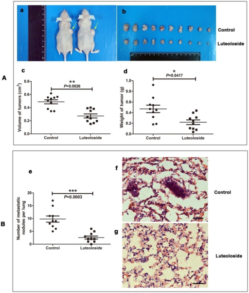 Luteoloside inhibits tumorigenic and spontaneous lung metastatic capabilities of SMMC-7721 cells.(A) Subcutaneous injection of SMMC-7721 cells plus luteoloside treatment in nude mice inhibited tumor growth. (B) Tail vein injection of SMMC-7721 cells plus luteoloside treatment in nude mice inhibited the metastasis of SMMC-7721 cells. (a) 2×106 SMMC-7721 cells were subcutaneously injected into the right upper flank of each mouse. When tumors were observable, the animals were equally divided into two groups (ten per group). The first group received only 0.2 ml of vehicle material by gavage daily and served as a control group. The second group of animals received luteoloside (2 mg/kg body weight) in vehicle, respectively, for 4 weeks. At the termination of the experiment, the mice were sacrificed, and the tumors were weighed immediately after dissection. The yellow arrow shows the tumor. (b) The photo of tumors isolated from killed nude mice of the indicated groups. (c-d) The volume and weight of the tumors. (e) Number of metastatic nodules on the surface of the lungs of mice injected with SMMC-7721 (n = 10 mice in per group) are presented as the means and SEM. (f-g) Representative pictures of lungs with or without metastatic nodules are shown (H&E staining). *, P<0.05; **, P<0.01; ***, P<0.001, versus non-luteoloside-treated control group. Scale bar: 30 µm.