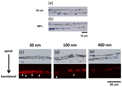 Microscopy analysis of the BBB model. In (a) and (b), we stained by H&E after supplementation of the 30 nm silica and the MP silica, respectively; in (c–e), we confirmed red fluorescence of the silica accumulation in the BBB model's cell layers by fluorescent microscopy (30, 100, and 400 nm).