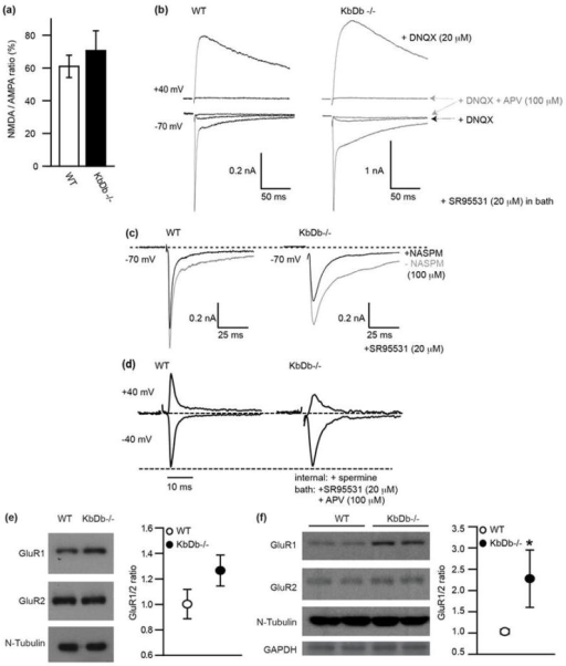 Normal NMDA/AMPA ratio but increased Ca2+ permeable AMPA receptors at retinogeniculate synapses in KbDb −/−(a,b): NMDA/AMPA ratio is unchanged in KbDb−/−. (a) NMDA/AMPA ratio (%): Peak IAMPA measured at −70 mV (+20 μM SR95531) vs peak INMDA at +40 mV (+20 μM SR95531 + 20 μM DNQX): WT: 61±6.8 (n=10/N=4); KbDb−/−: 70.6 ± 12.1 (n=7/N=3) (p>0.1, t-test). mean±s.e.m. (b) Example recordings from individual neurons for WT (left) and KbDb−/− (right). APV (100 μM) was added at the end of each experiment to confirm NMDA-mediated synaptic currents. D600 in pipette. (c) Example showing effect of NASPM (100 μM bath) on IAMPA: note significant blockade of IAMPA in KbDb−/−. Gray line: prior to NASPM; black line: after NASPM (5 traces averaged for single cell) SR95531 in bath for (a–c). (d) Examples for IAMPA normalized to EPSC amplitude at −40 mV. Note reduction in EPSC amplitude at +40 mV in KbDb−/− but not WT. 100 μM APV + 20 μM SR95531 in bath. Spermine (100 μM) and D600 (100 μM) in pipette. Ages: P8–13. Experimenter was aware of genotype due to obvious differences in time course of EPSCs and effects of NASPM. (e) Example Western blot (left) and GluR1/GluR2 ratio (right) of P22 thalamus; WT: 1.0 ± 0.1 (N=12); KbDb−/−: 1.3 ± 0.1 (N=13) (p=0.07). (f) Example Western blot (left) and GluR1/GluR2 ratio (right) of cultured cortical neurons; WT: 1.0 ± 0.1 (N=4); KbDb−/−: 2.3 ± 0.7 (N=4) (*p=0.03). Mann-Whitney for (e, f), n=cells/N=animals.