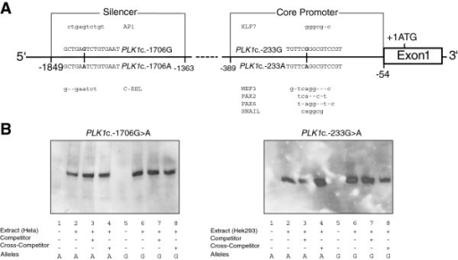 In silico transcription factor binding sites and electrophoretic mobility shift assay. Schematic representation of the PLK1 silencer and core promoter regions (panel A). Alleles and the surrounding sequence of the silencer SNP rs57973275 (c.-1706G > A) and the core promoter SNP rs16972787 (c.-233G > A) are shown. Transcription factors and their putative binding sites are shown above and below the corresponding PLK1 alleles, respectively. Representative electrophoretic mobility shift assays for both SNPs that failed to show genotype-dependent binding of nuclear extracts of different cell lines (panel B).
