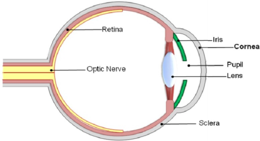 Basic anatomy of the human eye and location of the corn | Open-i
