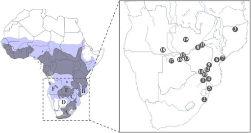 Map of Africa representing the 19 sampling localities ofS. c. cafferanalysed in this study. Grey shapes on the map represent the actual distribution of the African buffalo according to the IUCN Antelope Specialist Group, 2008. Blue shapes represent past distributions according to Furstenburg 1970–2008 (personal unpublished field notes). A. South Africa, B. Mozambique, C. Zimbabwe, D. Botswana, E. Zambia, F. Angola, 1. Kruger, 2. Hluhluwe-iMfolozi, 3. Niassa, 4. Limpopo, 5. Manguana, 6. Gorongosa, 7. Marromeu, 8. Nyakasanga, 9. Malilangwe, 10. Crooks Corner, 11. Mana Pools, 12. Gonarezhou, 13. Hwange, 14. Sengwe, 15. Victoria Falls, 16. Chobe, 17. Okavango Delta, 18. Angola, 19. Zambia.