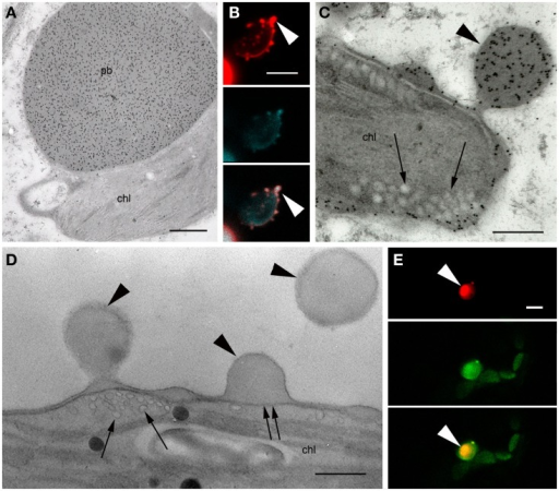 Protein bodies induced by ΔSP-DsZein. (A) Immunoelectron microscopy. Gold particles decorating a protein body (pb) in close association with a plastid (chl). (B) CLSM image showing the accumulation of fluorescent fusion protein in the periphery of a plastid, as well as several budding sites (arrowhead). DsRed fluorescence (top), autofluorescence of plastids (middle), and merged channels (bottom) are shown. (C) Immunoelectron microscopy, localization of DsRed. Abundant gold probes are visible in the periphery of a plastid, showing a budding protein body (arrowhead). Note the tubular thylakoids in the vicinity of the budding site (arrows). (D) Detection of unsaturated lipids, by electron microscopy. Budding protein bodies are confined by the outer membrane (arrowheads) and the inner envelope membrane (double arrow) of the plastid. Tubular thylakoids can be observed at the budding site (arrows). (E) CLSM image showing red fluorescent protein bodies enclosed by the outer plastid envelope membrane highlighted with a TOC-GFP membrane marker (arrowheads). DsRED (top), GFP (middle) and merged channels (bottom) are shown. Bars = 0.5 μm (A,D), 5 μm (B,E), or 0.25 μm (C).