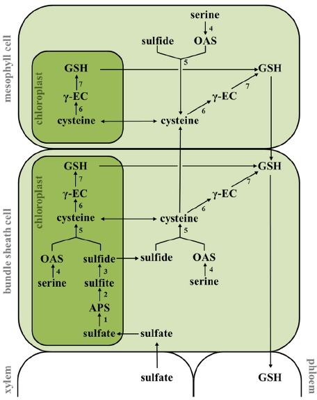 Intercellular compartmentation of sulfate assimilation and glutathione biosynthesis in maize. Sulfate is taken up from the soil and transported to the bundle sheath cells (BSC) through the xylem. The reduction of sulfate takes place exclusively in the plastids of BSC and is mediated by ATP sulfurylase (1), APS reductase (2), and sulfite reductase (3). Sulfide is further incorporated into the amino acid backbone of OAS by OAS (thiol)lyase (5) to form cysteine in chloroplasts, cytosol and mitochondria (not included) of BSC. OAS is derived from serine by serine acetyltransferase-mediated acetylation (4). Reduced sulfur is transported in form of cysteine to mesophyll cells where glutathione (GSH) synthesis is predominantly localized. GSH synthesis is driven by γ-EC synthetase (6) and GSH synthethase (7). APS, adenosine-5′-phosphosulfate; GSH, glutathione; OAS, O-acetylserine; γ-EC, γ-glutamylcysteine.
