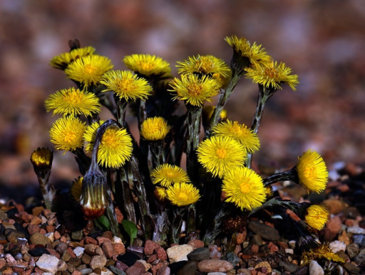Coltsfoot (Source: Andreas Trepte, www.photo-natur.de)