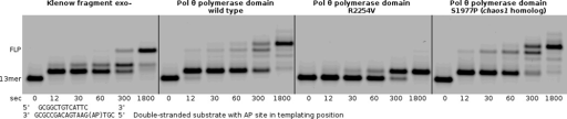 The primer extension assay demonstrates that pol θ R2254V cannot perform the bypass step of TLS, even when all nucleotides are provided (500 µM each). Pol θ and the human chaos1 allele homolog (pol θ S1977P) bypass the AP site to a full-length product, with terminal transferase activity extending the primer by one additional nucleotide. Klenow fragment exo- is able to bypass the AP site under these reaction conditions (125 nM enzyme + 250 nM primer–template), without terminal transferase activity.